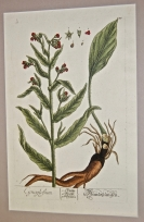 'Comfrey', engraving on copper, from A Curious H...