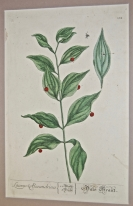 'Butchers Broom', engraving on copper, from A Cu...