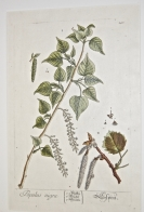 'Poplar', engraving on copper, from A Curious He...